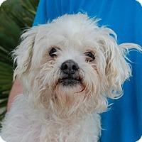 Adopt A Pet :: Kouros - Las Vegas, NV
