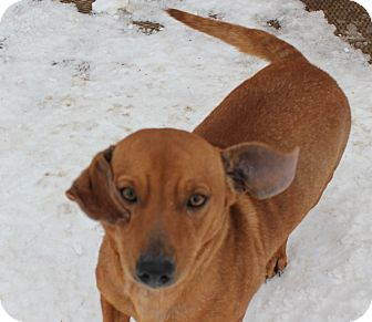 Dachshund Mix Dog for adoption in Minnetonka, Minnesota - HARRY