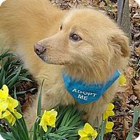 Adopt A Pet :: Fluffy Rex - Capon Bridge, WV