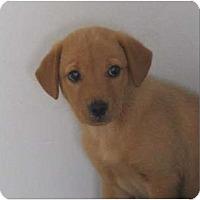 Adopt A Pet :: Audrey - Alexandria, VA