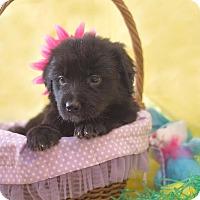 Adopt A Pet :: Tesla - Baltimore, MD