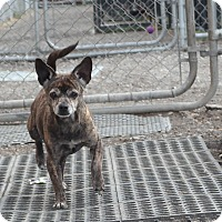 Chihuahua Mix Dog for adoption in San Pablo, California - EMMA