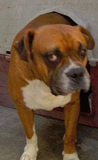 Boxer Mix Dog for adoption in San Diego, California - Boxer Boy