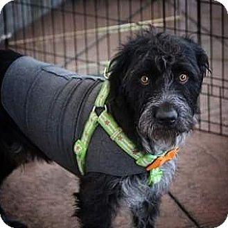 Terrier (Unknown Type, Medium)/Catahoula Leopard Dog Mix Dog for adoption in Henderson, Nevada - Abbott