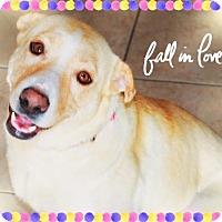 Adopt A Pet :: MACY - Sweet lady! - Chandler, AZ