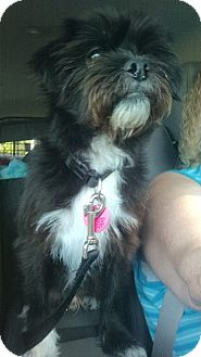 Lhasa Apso/Terrier (Unknown Type, Small) Mix Dog for adoption in Sheridan, Oregon - Kasey
