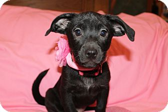 Labrador Retriever Mix Puppy for adoption in Albany, New York - Jenny (has been adopted)
