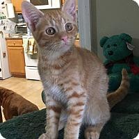 Domestic Shorthair Kitten for adoption in Huntsville, Alabama - Logan