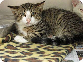 Domestic Shorthair Kitten for adoption in Windsor, Virginia - Tiny