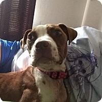 Boxer Mix Dog for adoption in Wytheville, Virginia - Iris