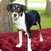 Jack Russell Terrier/Rat Terrier Mix Dog for adoption in Alvin, Texas - Addy-dainty little beauty-N
