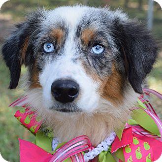 Australian Shepherd Mix Dog for adoption in Denver, Colorado - Rye