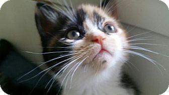 Calico Kitten for adoption in Miami, Florida - Zamboni
