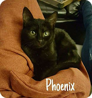 Domestic Shorthair Kitten for adoption in Tega Cay, South Carolina - Phoenix