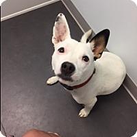 Adopt A Pet :: LILO ADORES CHILDREN FABULOUS NANNY DOGGIE - Rowayton, CT