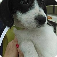 Adopt A Pet :: Snowflake Sue~ meet me! - Glastonbury, CT