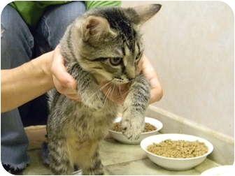 Domestic Shorthair Kitten for adoption in Bonita Springs, Florida - Katie