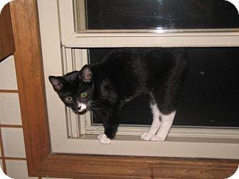 Domestic Shorthair Cat for adoption in Grand Rapids, Michigan - Mona