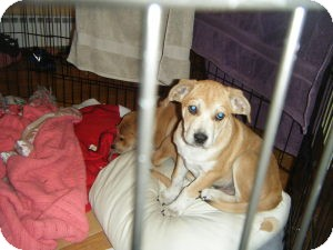Beagle/Basset Hound Mix Puppy for adoption in Marlton, New Jersey - Baby Jack