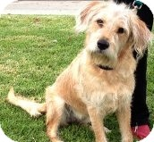 Wheaten Terrier/Golden Retriever Mix Dog for adoption in Thousand Oaks, California - Nala