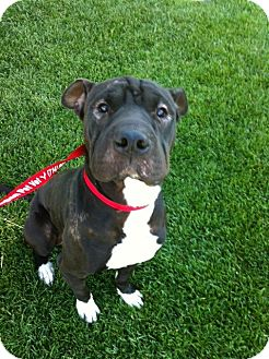 Shar Pei/Boxer Mix Dog for adoption in Mira Loma, California - Lucy Liu