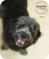 Petit Basset Griffon Vendeen Mix Dog for adoption in Phoenix, Arizona - Owen