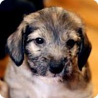 Adopt A Pet :: Dahlia - Minneapolis, MN