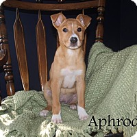 Adopt A Pet :: Aphrodite - Southington, CT