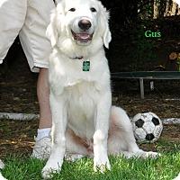 Adopt A Pet :: Gus - Indian Trail, NC