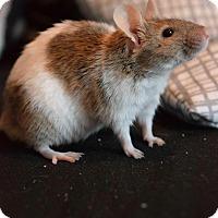 Adopt A Pet :: Moo - Rochester, NY