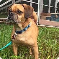 Adopt A Pet :: Uno - Davie, FL