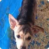 Adopt A Pet :: Chihuahua/Daschund pup gir - Pompton Lakes, NJ