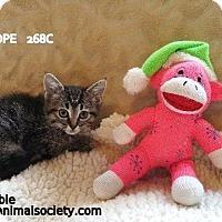 American Shorthair Kitten for adoption in Spring, Texas - Penelope