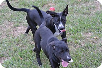 Labrador Retriever/German Shepherd Dog Mix Puppy for adoption in Shaw AFB, South Carolina - willow