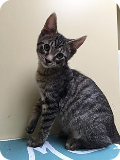 Domestic Shorthair Kitten for adoption in Maryville, Missouri - Cloudy