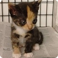 Adopt A Pet :: Paisley - Jefferson, NC