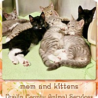 Adopt A Pet :: MOM AND PRETTY KITTENS - Kenansville, NC