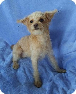 Maltese/Poodle (Miniature) Mix Dog for adoption in Temecula, California - Suzy