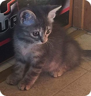 Domestic Shorthair Kitten for adoption in Evans, West Virginia - Ira