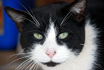 American Shorthair Cat for adoption in Salem, West Virginia - Browning