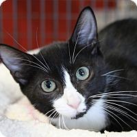 Adopt A Pet :: Toulouse - Sarasota, FL