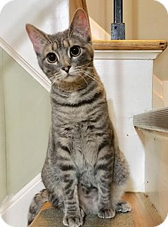 Domestic Shorthair Cat for adoption in East Brunswick, New Jersey - Genesis