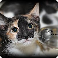 Adopt A Pet :: Tess - Springfield, PA