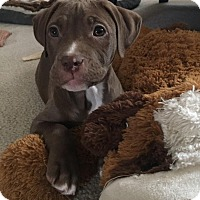 Adopt A Pet :: Hermione - Baltimore, MD