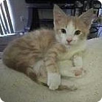 Adopt A Pet :: Munchkin - Parlier, CA