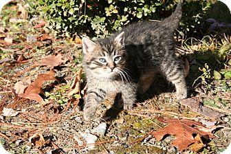 American Shorthair Kitten for adoption in Allentown, Pennsylvania - Boo Boo