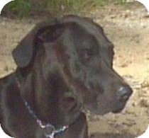 Great Dane Mix Dog for adoption in Huntsville, Ontario - Diva the Dane!