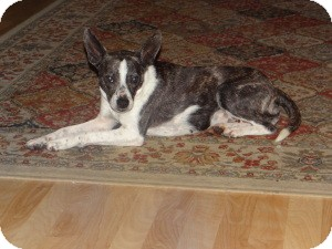 Boston Terrier/Rat Terrier Mix Dog for adoption in Marlton, New Jersey - Lexi