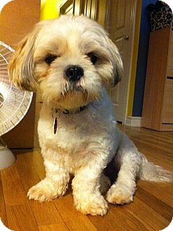 Shih Tzu Dog for adoption in Rigaud, Quebec - Rocky