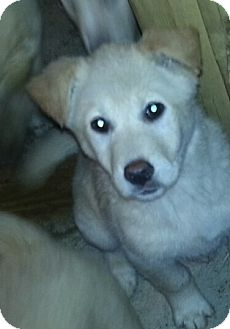 Husky/Golden Retriever Mix Puppy for adoption in Chicago, Illinois - Izzie